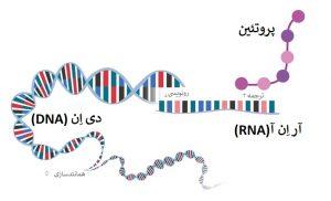 بیان یک پروتئین در سلول ها