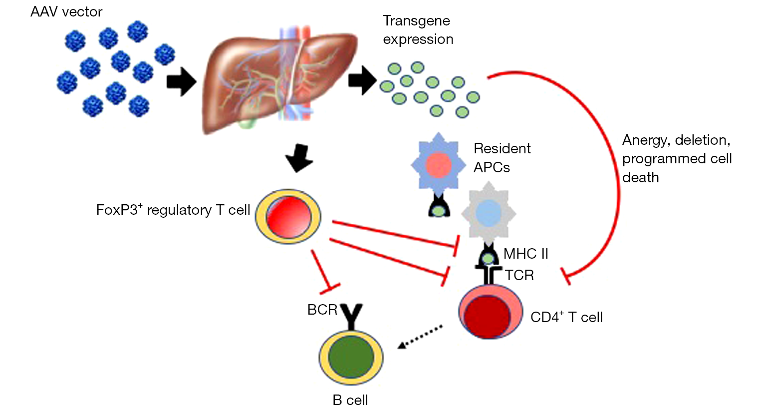 immunomodulatory liver depot gene therapy for pompe disease