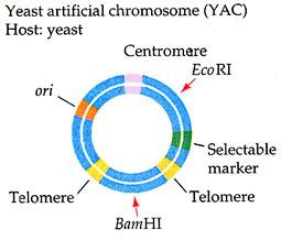 کروموزوم مصنوعی یوکاریوتی